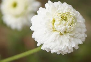 http://huiles-essentielles-aromatherapie.eu/wp-content/uploads/camomille-romaine-plante.jpg