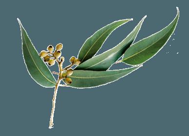 feuilles d'eucalyptus radié