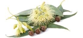 Eucalyptus Citronné : La Rolls contre les moustiques et les courbatures