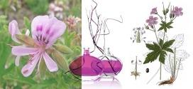 Les secrets de l'huile essentielle de Géranium rosat