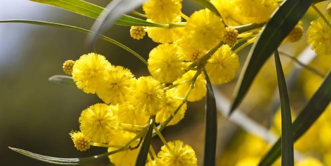 huile essentielle mimosa