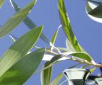 huile essentielle saro