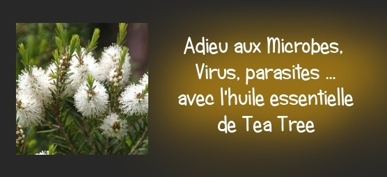 L'huile essentielle tea tree : Adieu aux microbes, virus, parasites et champignons