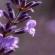 Hydrolat de lavande : Des vertus exceptionnelles pour la peau