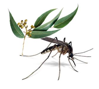 insectes et eucalyptus radié