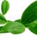 Ravensare : Une huile essentielle polyvalente