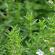 Huile essentielle de Sarriette des montagnes : La star dans la trousse du voyageur