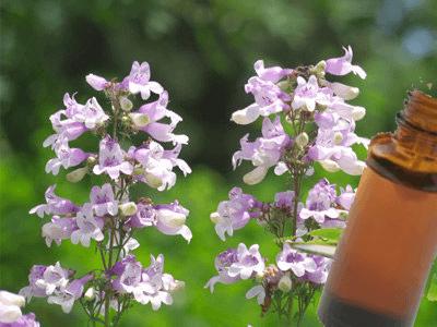 huile essentielle sauge sclarée