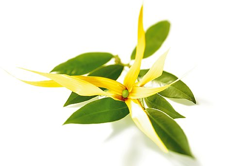 ylanylang huile essentielle anti stress