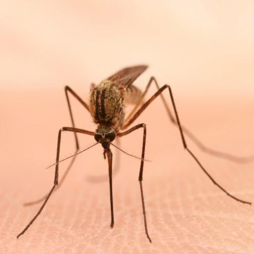 Les huiles essentielles anti-moustiques