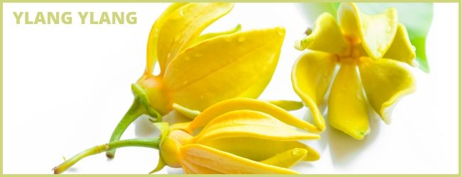 huile essentielle ylang ylang