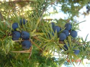genevrier-plantes