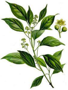 huile essentielle antivirale ravintsara