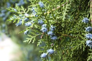 D'où vient l'huile essentielle de cyprès de Provence ? Cette huile essentielle provient d'un arbre, le cyprès (cupressus sempervirens) qui pousse dans le Sud de la France ou au Maroc. Elle est issue de la distillation des rameaux de cet arbre et est de couleur verte. Ne la confondez pas avec l'huile essentielle de cyprès bleu (cupressus arizonica), originaire d'Australie qui a des propriétés différentes et qui est toxique. Assurez vous d'acheter Cupressus sempervirens! Elle est à la fois décongestionnante veineuse et lymphatique et favorise la microcirculation sanguine et peut aider au déstockage des graisses. Elle est aussi une action sur les bronches et est très efficace contre les toux sèches. On l'utilise également contre les hémorroïdes et les varices. Son principe actif est l'alpha-pinène, un mototerpène (50%).